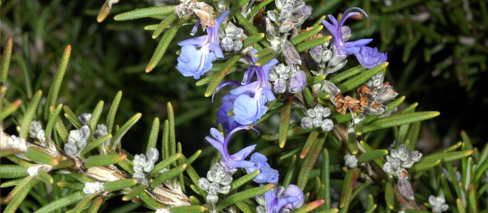 Rosemary Essential Oils for Headaches