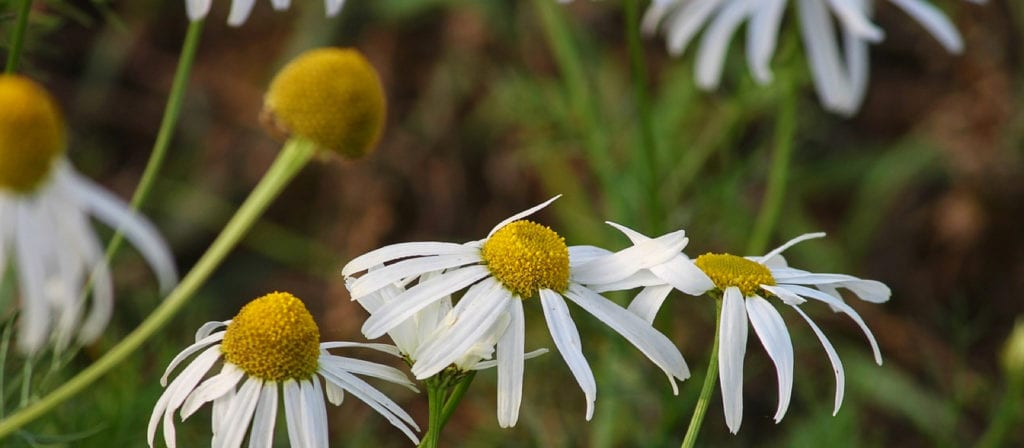 Chamomile Essential Oils for Poison Ivy